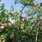 鹿児島市都市農業センターでブルーベリー収穫体験してきました
